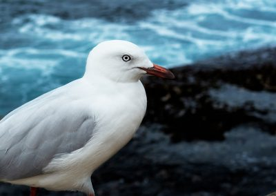 Bondi-Bird
