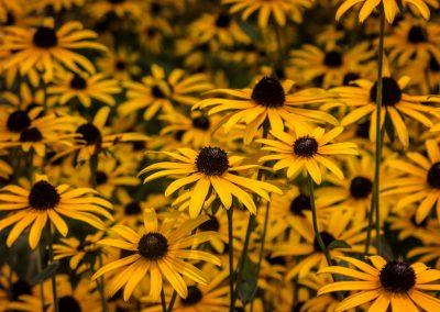 yellow-flowers-orig